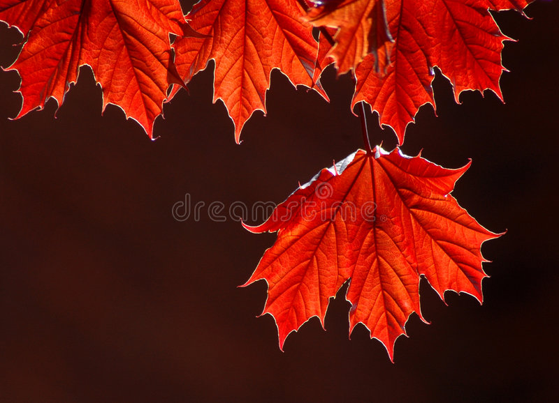 Download Maple leaves stock image. Image of nature, canadian, detail - 169147
