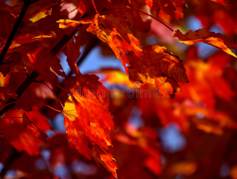 Download Maple Leaves Stock Photos - Image: 194003