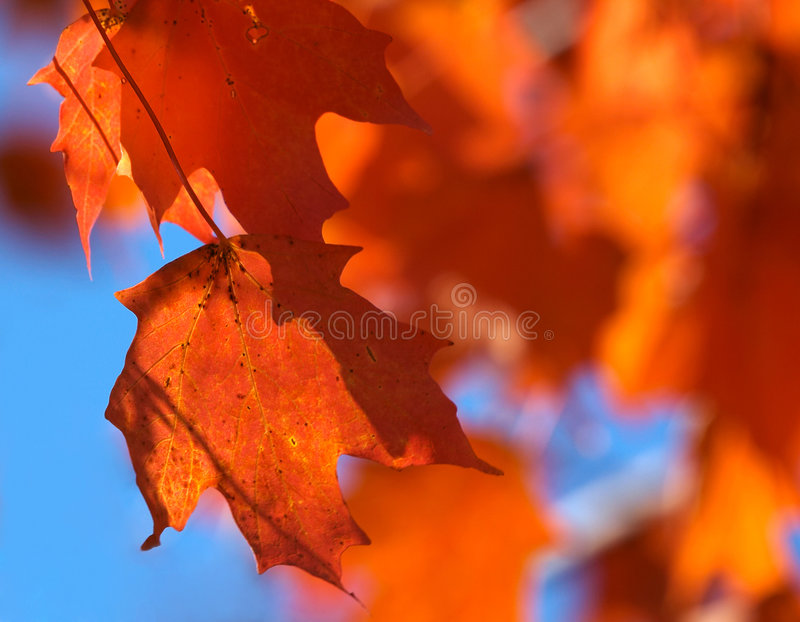 Download Maple leaves stock photo. Image of nature, autumn, blue - 195778