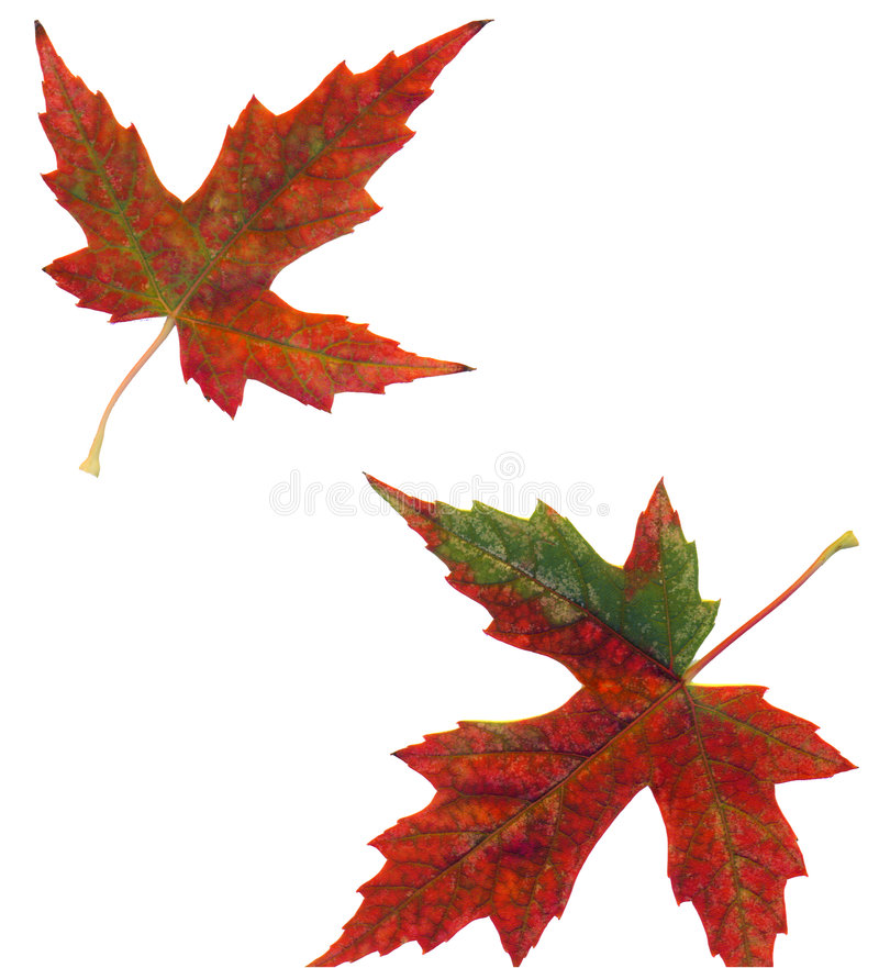 Download Maple Leaves - 2 stock image. Image of autumn, colorado - 2173553