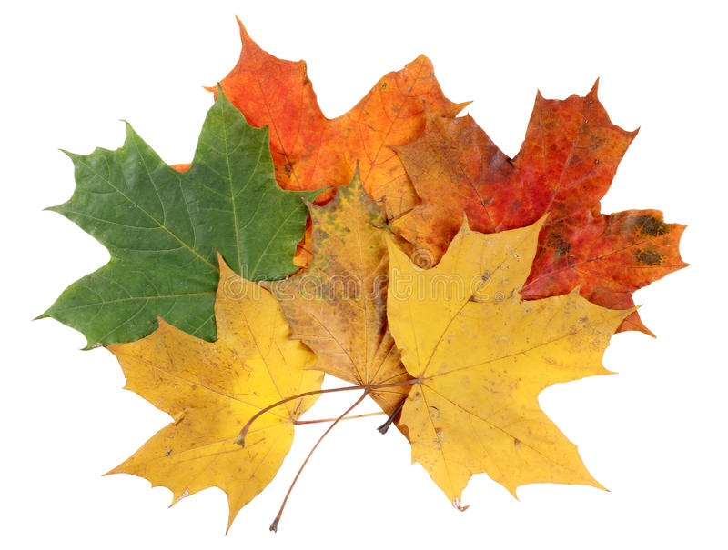 Download Maple leaves stock photo. Image of november, october - 21397676