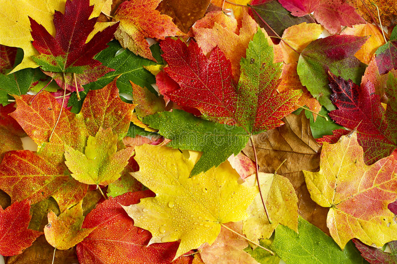 Download Maple leaves stock image. Image of background, beautiful - 26815857