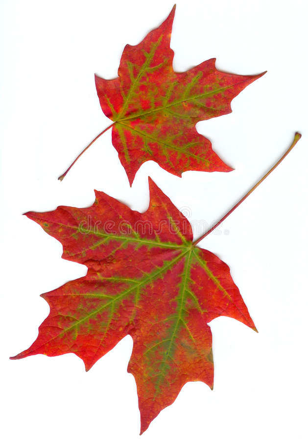 Maple leaves. In fall colors of red with green with the background dropped out