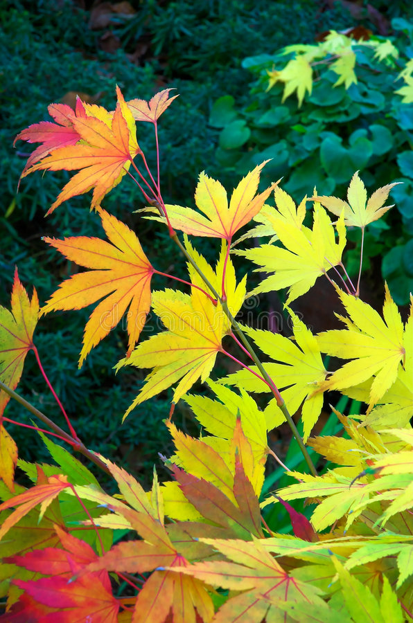 Free Maple Leaves Royalty Free Stock Images - 395639