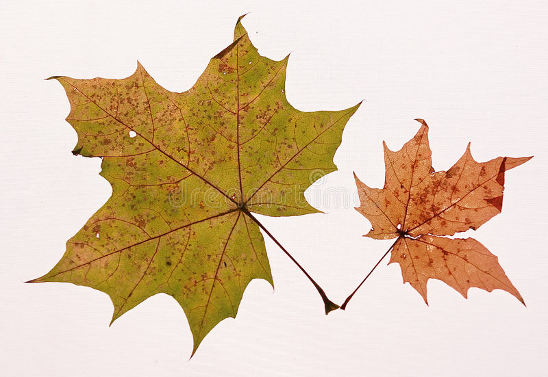 Download Maple leaves stock photo. Image of fallen, maple, autumn - 463298