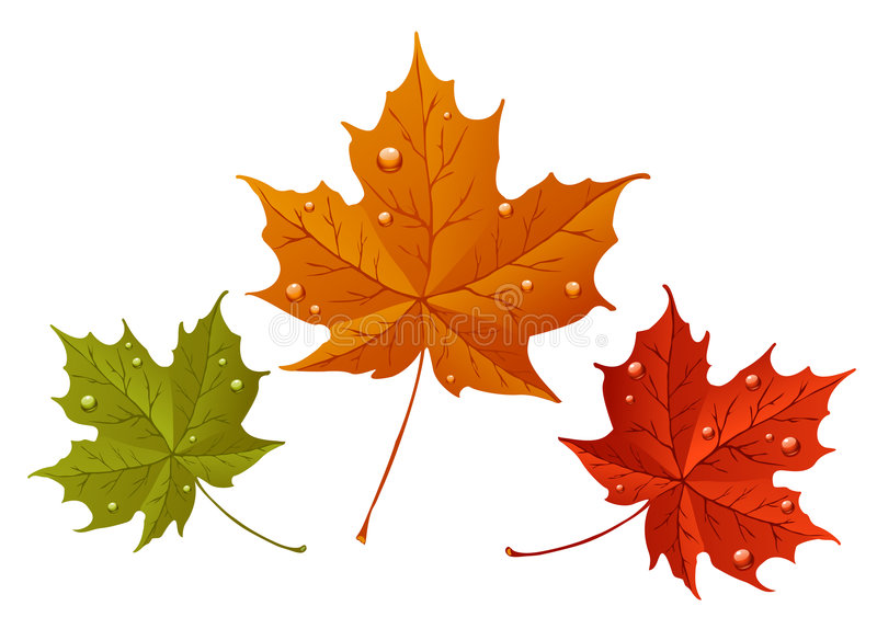 Maple leaves vector illustration