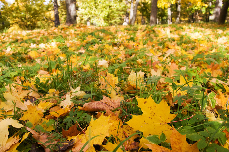 Download Maple Leaves stock photo. Image of grass, nature, beautiful - 6623664