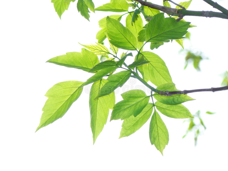 Download Maple leaves stock image. Image of fresh, design, empty - 8871897