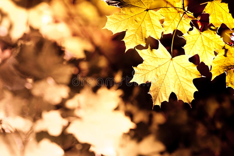 Maple leaves in autumn stock images