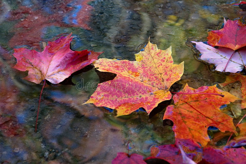maple leaves in autumn fall in line royalty free stock images