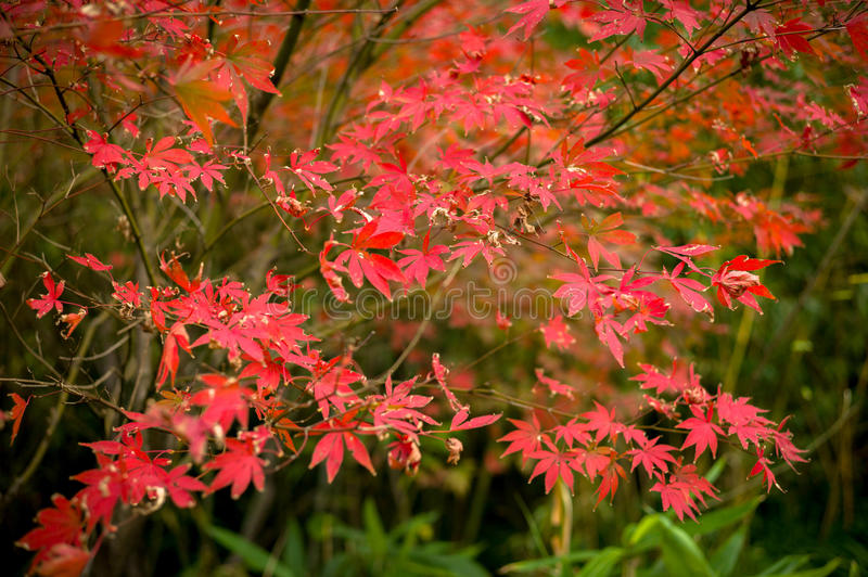 The maple leaves of autumn stock photo