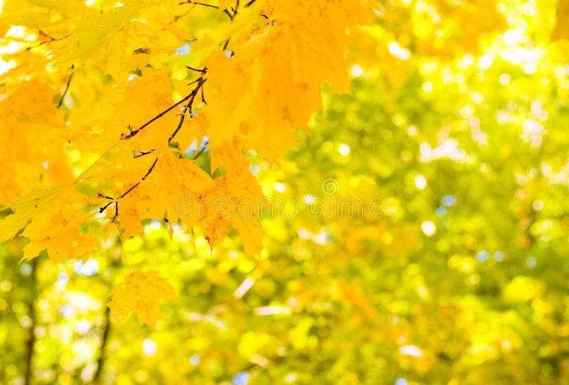 Maple leaves background stock images
