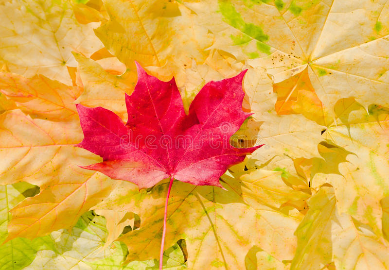 Download Maple Leaves In Beautiful Autumn Colours Stock Photo - Image of design, autumn: 16666644
