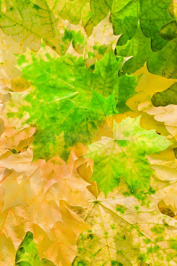 Maple Leaves In Beautiful Autumn Colours Royalty Free Stock Photos