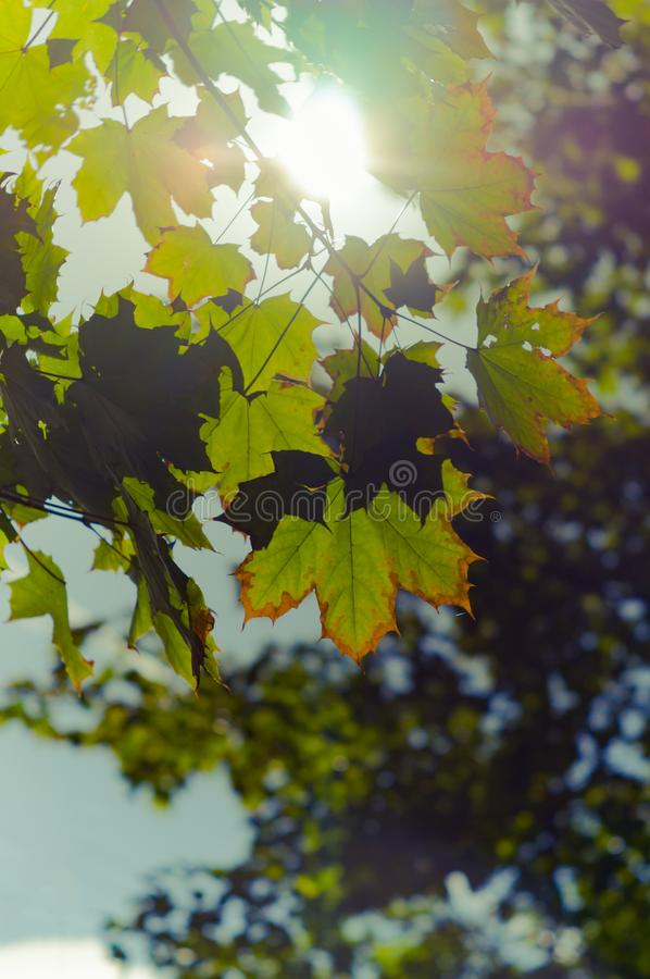 Maple leaves beginning to turn yellow in the rays of the sun. The onset of autumn. Soft focus, selected focus.Vertical photo royalty free stock image