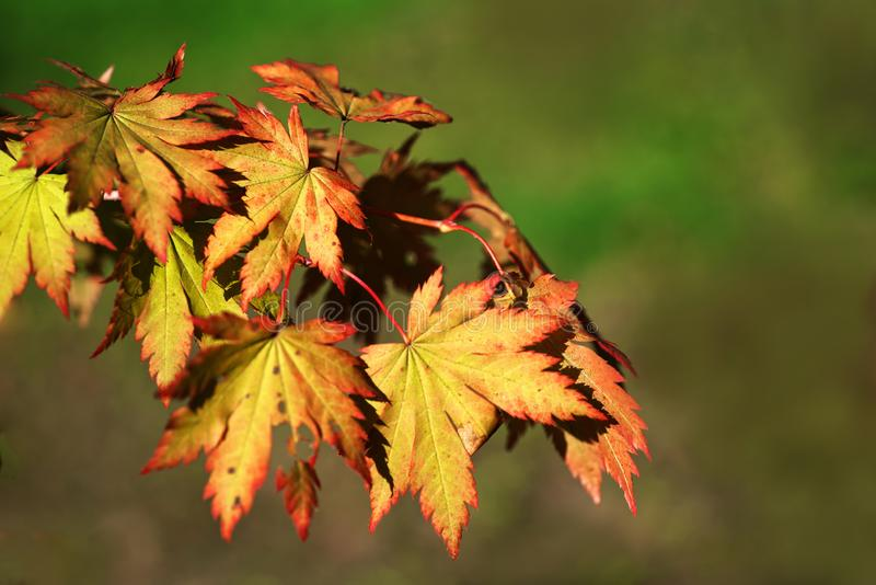 Maple leaves changing colour in the fall royalty free stock image