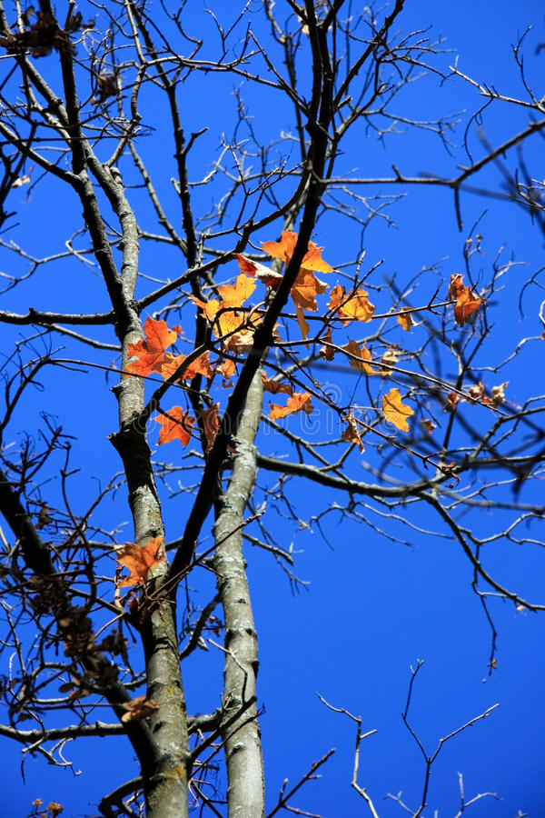 Maple Leaves in Fall stock image