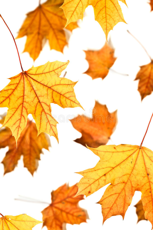 Maple leaves fall. On a white background stock photo