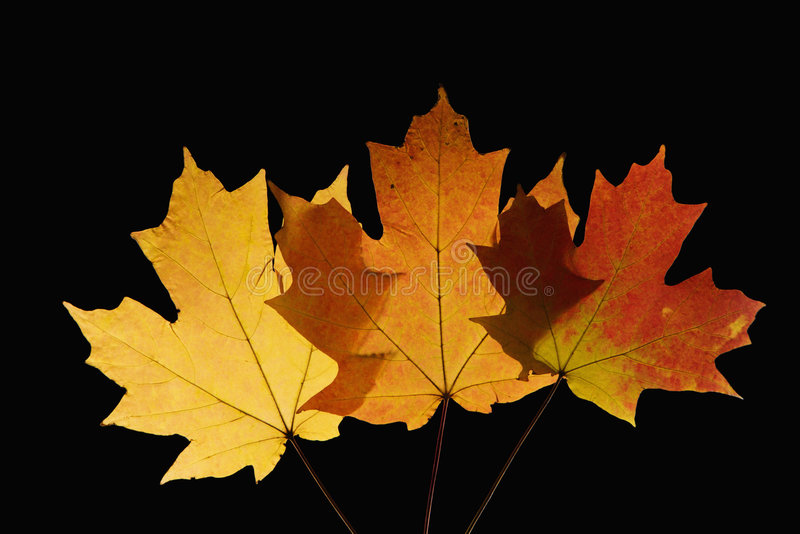 Maple leaves in Fall color stock images
