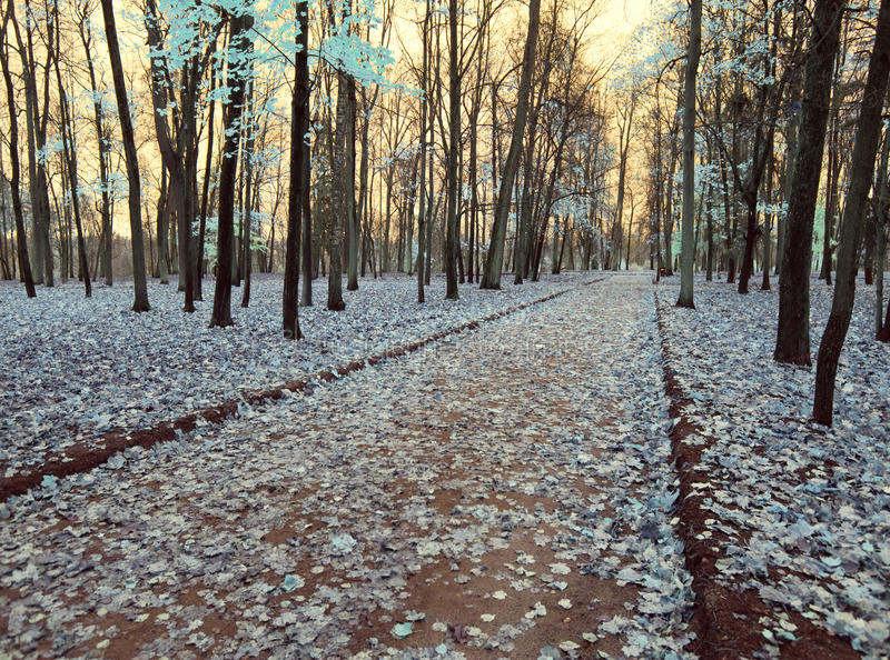 Maple Leaves Fall Down And Cover The Ground, An Infrared Photo Stock Photos