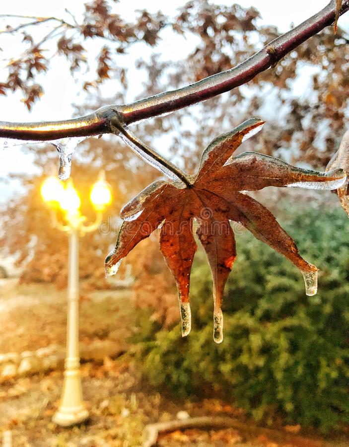 Maple leaves frozen with ice stock photography
