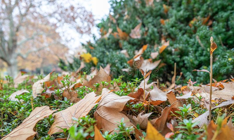 Maple leaves on the ground in Japanese public park. stock photos