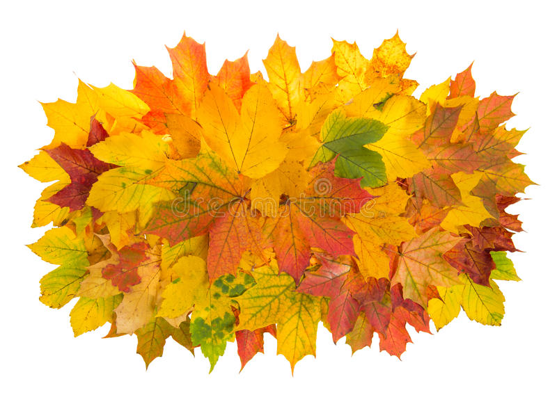 Maple leaves isolated on white background. Autumn red yellow royalty free stock photography