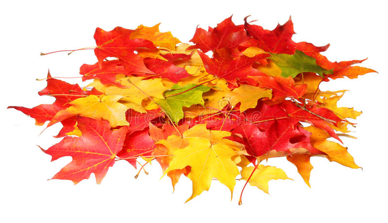 Maple leaves isolated on white background. Colored autumn leafs stock photography