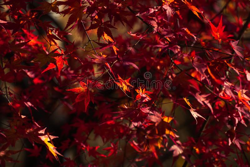 Maple leaves in Japan stock photo