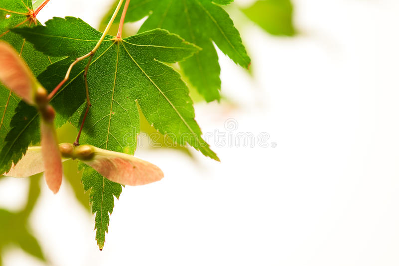 Download Maple Leaves Japanese Background With Copy Space Stock Image - Image: 11014181