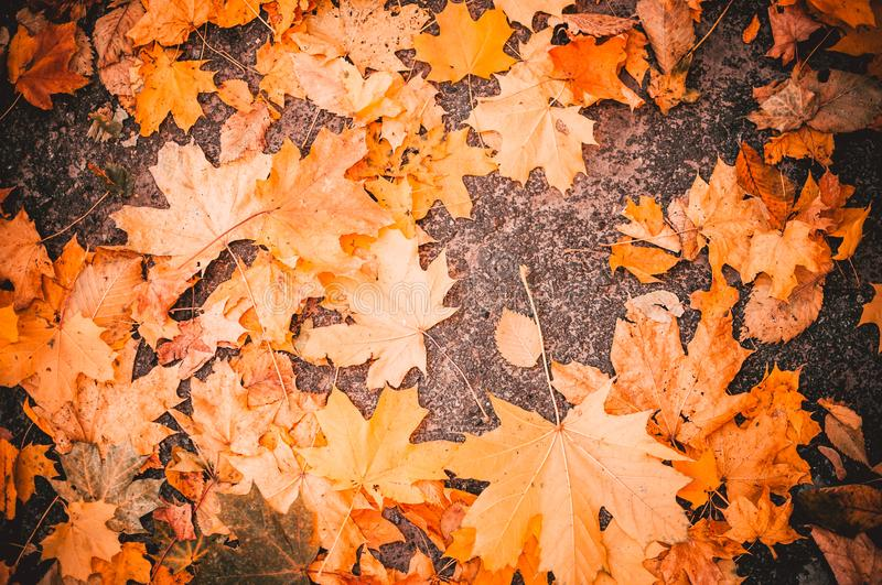 Maple leaves lie on the stone blocks in the park. The cold season of autumn. Time before halloween. The concept of the autumn stock photo