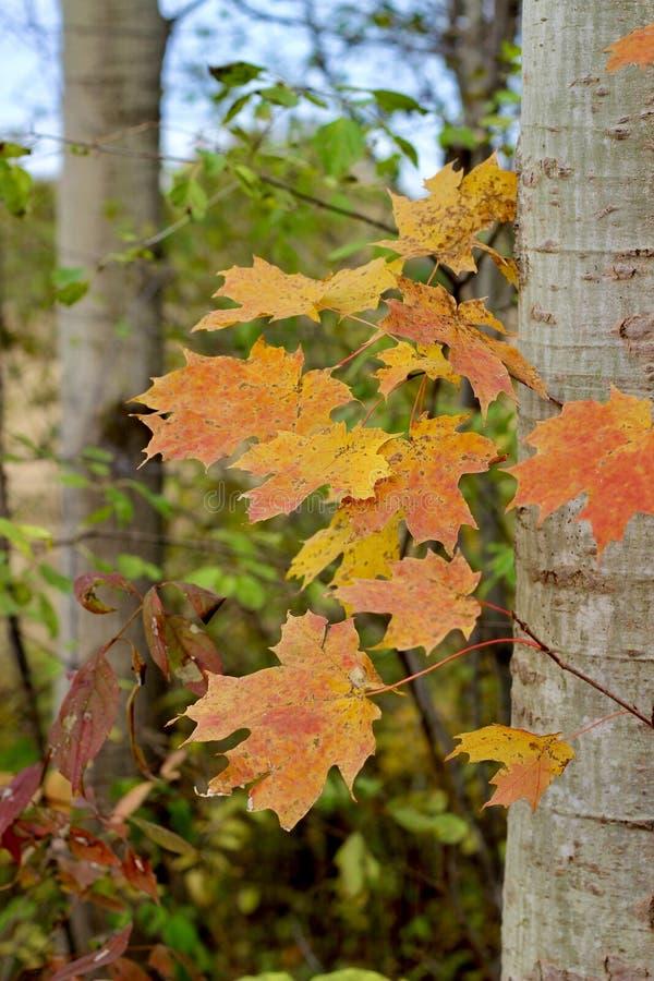 Maple Leaves met Trunk royalty-vrije stock foto's