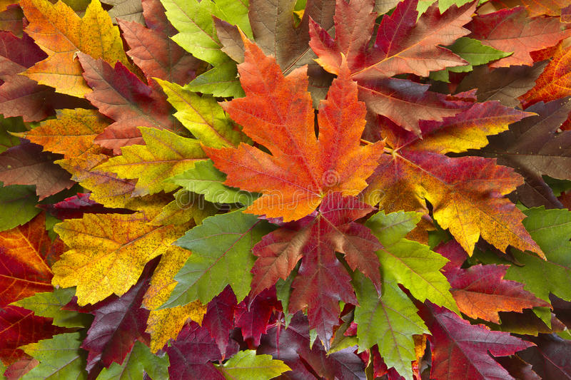 Maple Leaves Mixed Fall Colors Background stock images