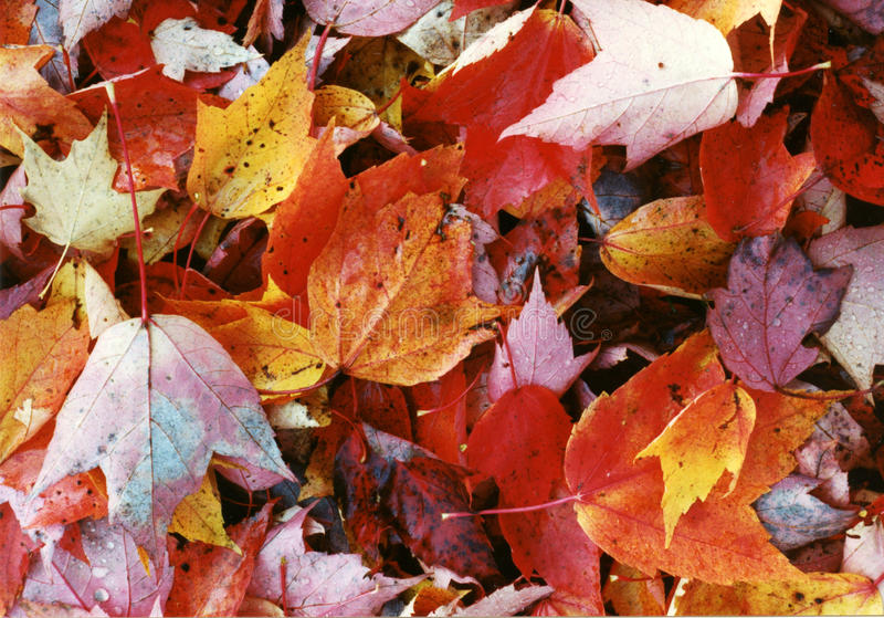 Maple Leaves Mixed Fall Colors Wet royalty free stock photo