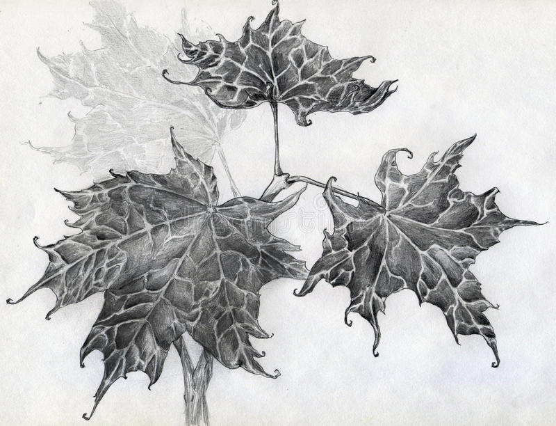 Download Maple leaves pencil sketch stock illustration. Image of maples - 32343970