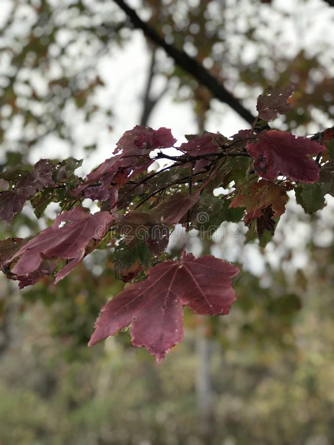 Maple leaves. Pretty crimson colored leaves on a maple tree in a park in late fall. The leaves are starting to fall fast as the season gets colder, displaying royalty free stock image