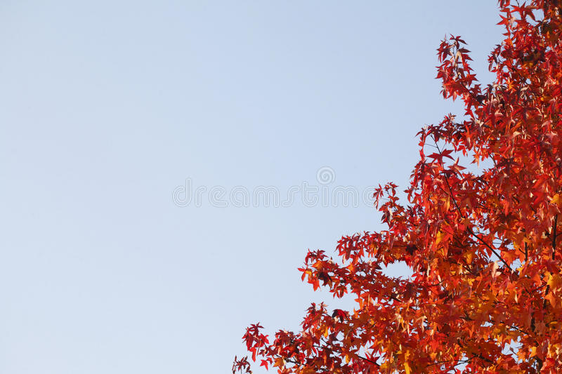 Maple-leaves. Red colored maple-leaves on atree stock image