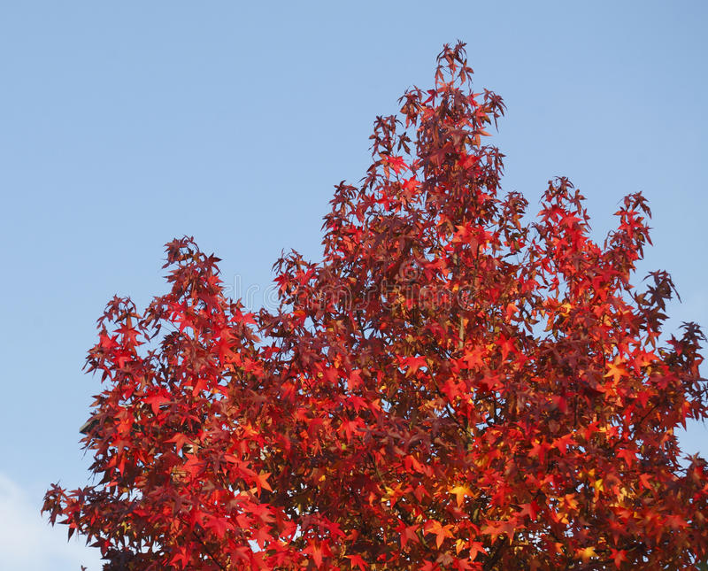 Maple-leaves. Red colored maple-leaves on atree royalty free stock photo