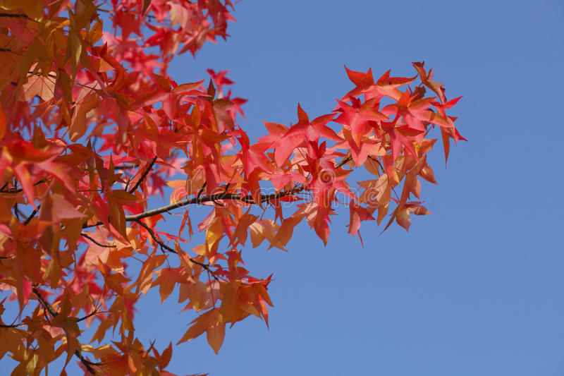 Maple-leaves. Red colored maple-leaves on atree stock photo