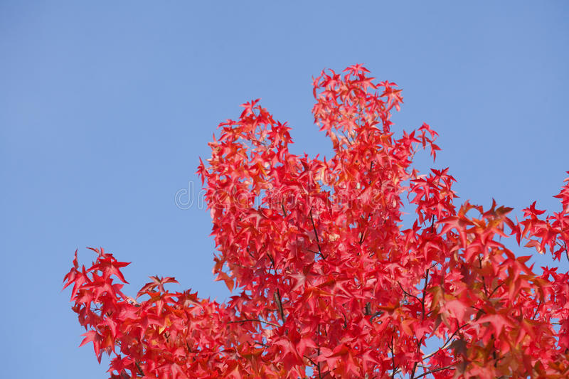 Maple-leaves. Red colored maple-leaves on atree royalty free stock images