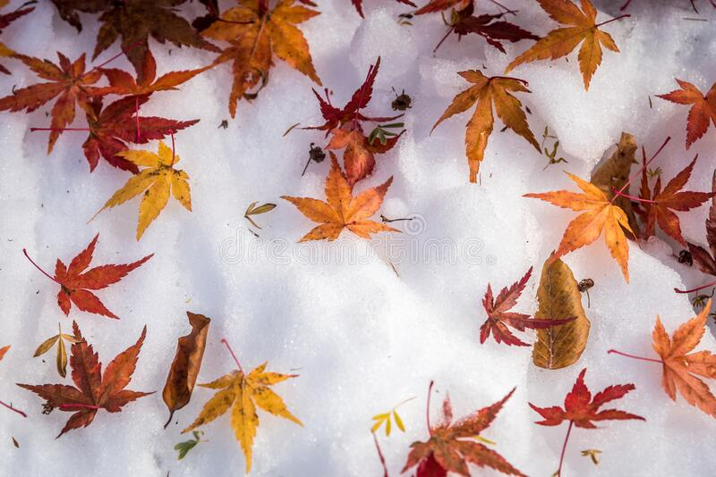Maple leaves on snow stock photography