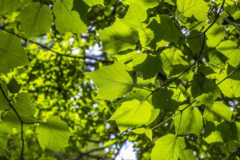 Maple leaves in the sunlight royalty free stock photo