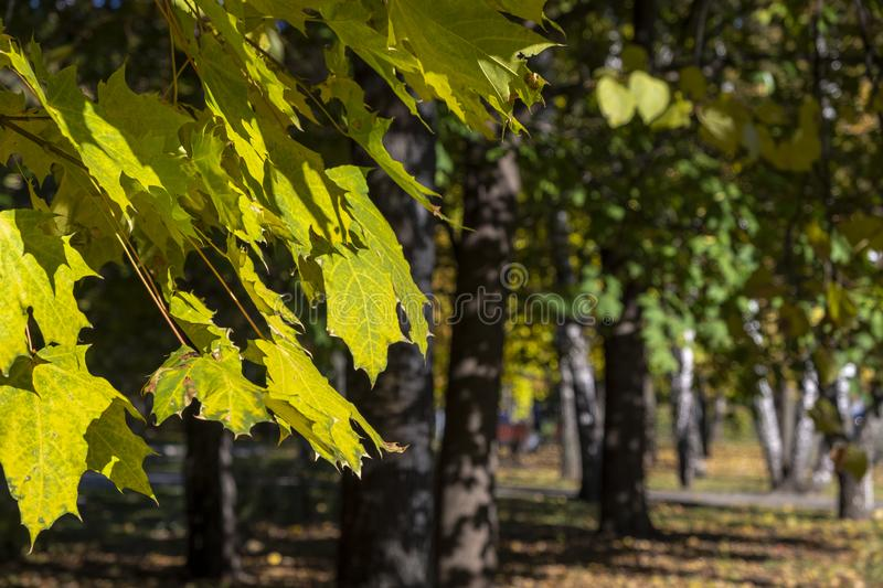Maple leaves on a tree, against the background of birches stock photos