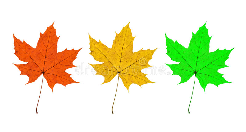 Download Maple Leaves Trio Stock Photography - Image: 7211482