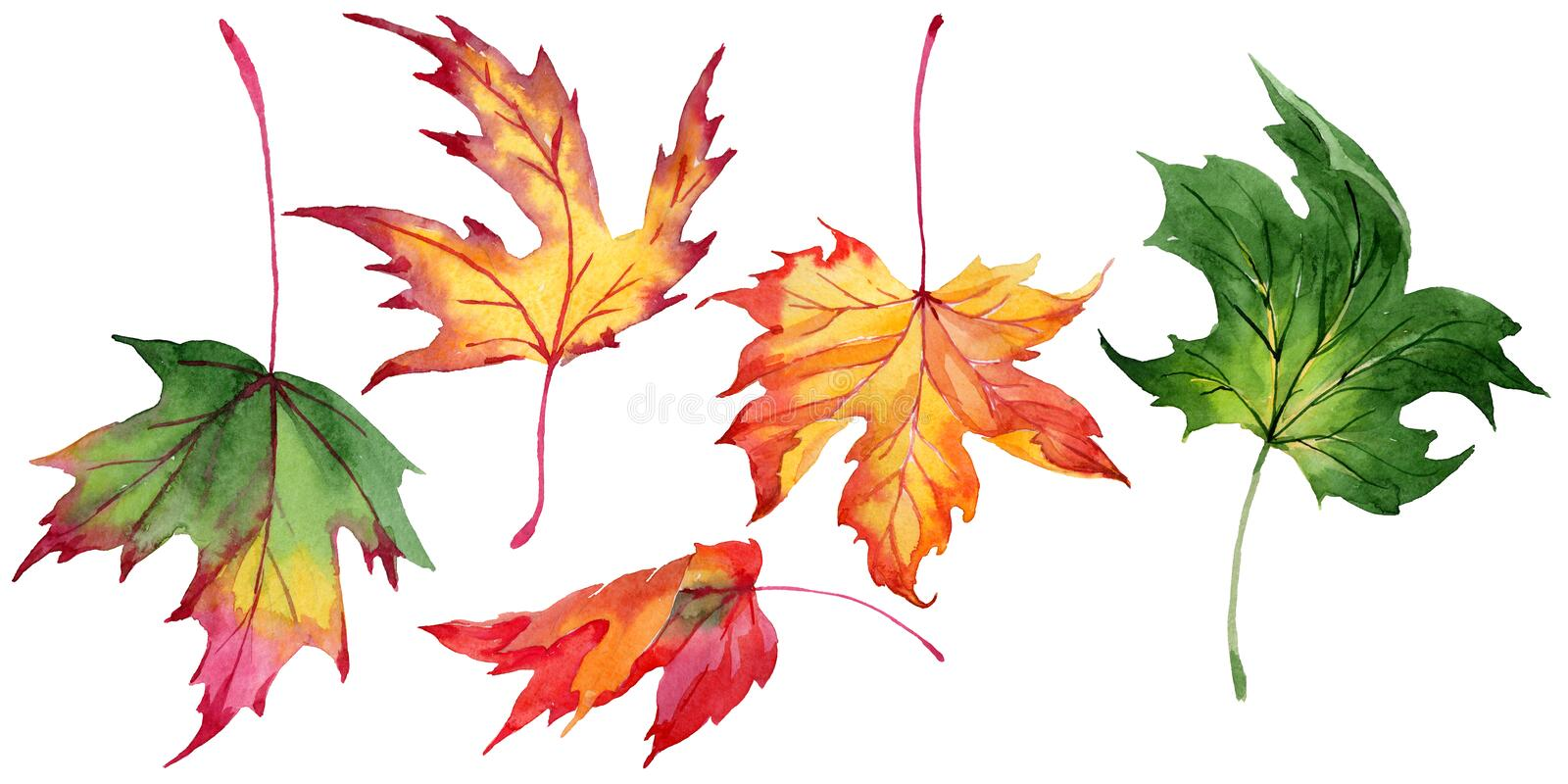 Maple leaves in a watercolor style isolated. royalty free illustration