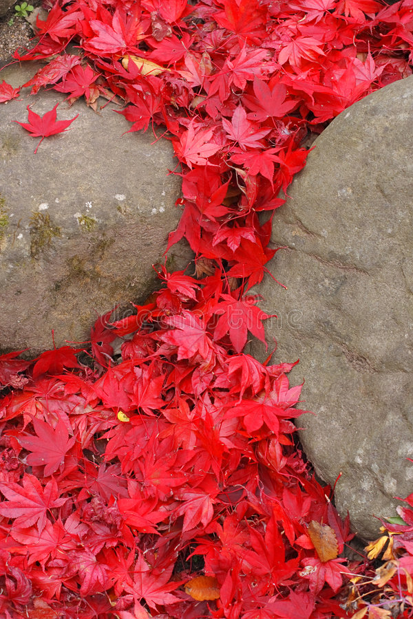 Maple leaves waterfall stock photography