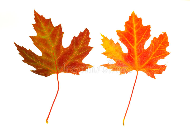 Maple Leaves on White stock images