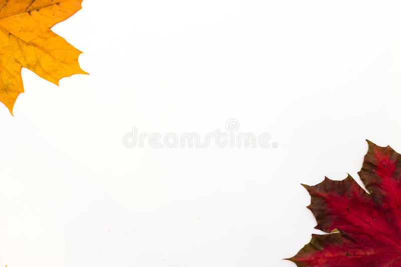 Maple leaves on a white background royalty free stock images
