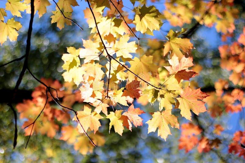 Maple leavs arkivfoto