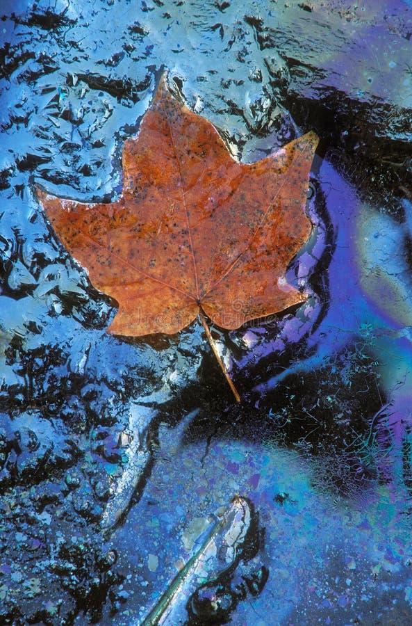 maple liści olejów roślinnych zdjęcie stock